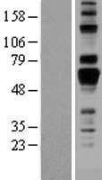 NBL1-07500 - AMIGO1 Lysate