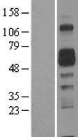 NBL1-07501 - Amphoterin-induced protein 2 Lysate