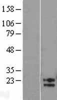 NBL1-07504 - AMN1 Lysate