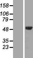NBL1-16512 - AMSH Lysate