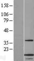 NBL1-07515 - ANAPC13 Lysate