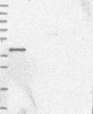 NBP1-89087 - Angiopoietin-5