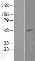 NBL1-07527 - ANGPTL4 Lysate