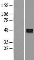 NBL1-07528 - ANGPTL5 Lysate