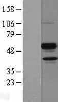 NBL1-07529 - ANGPTL7 Lysate