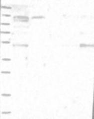NBP1-89085 - ANKFY1