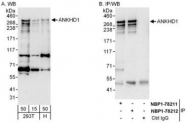 NBP1-78211 - ANKHD1