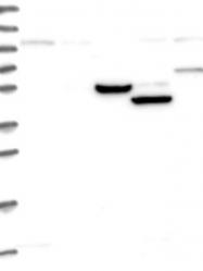 NBP1-93990 - ANKRD12