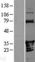 NBL1-07546 - ANKRD54 Lysate