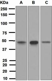 NBP1-95386 - TFAP2A / AP-2 alpha