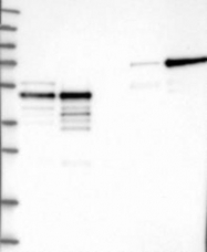 NBP1-90143 - TFAP2A / AP-2 alpha