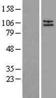 NBL1-07578 - AP2A2 Lysate