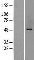 NBL1-07581 - AP2M1 Lysate