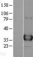 NBL1-07597 - APE1 Lysate