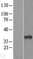 NBL1-07598 - APE1 Lysate