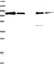 NBP1-85332 - APEH / AARE