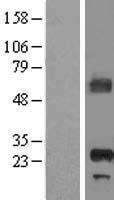 NBL1-07603 - APIP Lysate