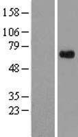 NBL1-08402 - APLF Lysate