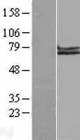 NBL1-07607 - APLP1 Lysate