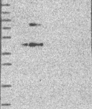 NBP1-89029 - APPL2 / APLP2