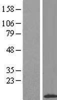 NBL1-08071 - APM2 Lysate