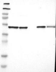 NBP1-89927 - APMAP