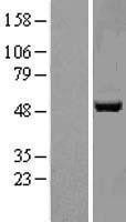 NBL1-08371 - APMAP Lysate