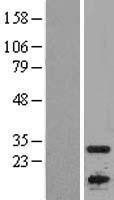 NBL1-07612 - APOBEC1 Lysate