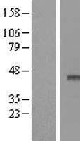 NBL1-07614 - APOBEC3F Lysate