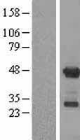 NBL1-07615 - APOBEC3G Lysate