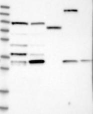 NBP1-89031 - Apolipoprotein L6 / APOL6