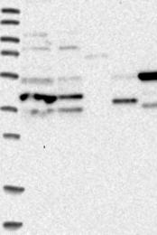 NBP1-89032 - Apolipoprotein L6 / APOL6
