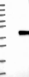 NBP1-90124 - PLEKHF1