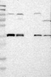 NBP1-87679 - Aquaporin-4