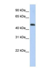 NBP1-56929 - ARC / ARG3.1