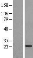 NBL1-07696 - ARF4L Lysate