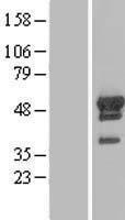 NBL1-07655 - ARFGAP1 Lysate