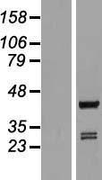 NBL1-07658 - ARFIP1 Lysate