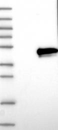 NBP1-87255 - Arfaptin-2