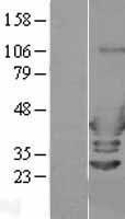 NBL1-07660 - ARFIP2 Lysate