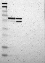 NBP1-85725 - ARHGAP1