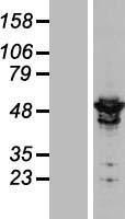 NBL1-07665 - ARHGAP1 Lysate