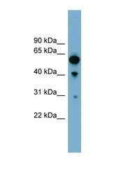NBP1-56885 - ARHGAP15