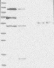 NBP1-84640 - ARHGAP28