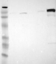 NBP1-88527 - ARHGAP4