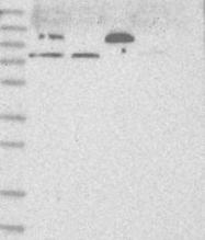 NBP1-80837 - ARHGAP6