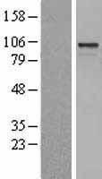 NBL1-07679 - ARHGEF15 Lysate