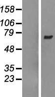 NBL1-07681 - ARHGEF3 Lysate