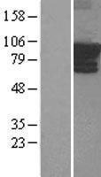 NBL1-07682 - ARHGEF4 Lysate