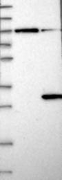 NBP1-90105 - DIRAS3